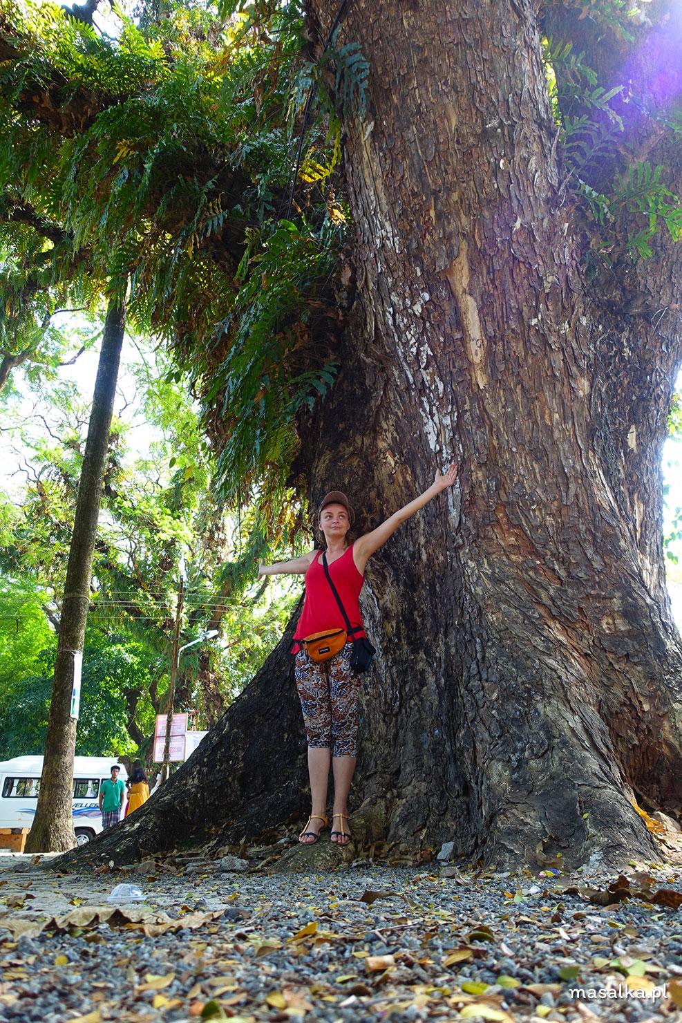 drzewa kochi